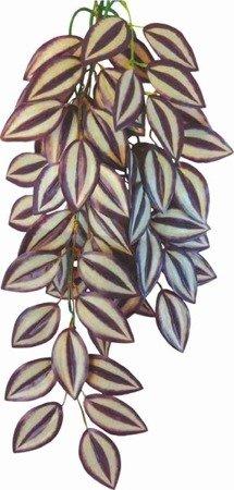 Happet Roślina terrarium Tradescantia Zebrina 50 cm